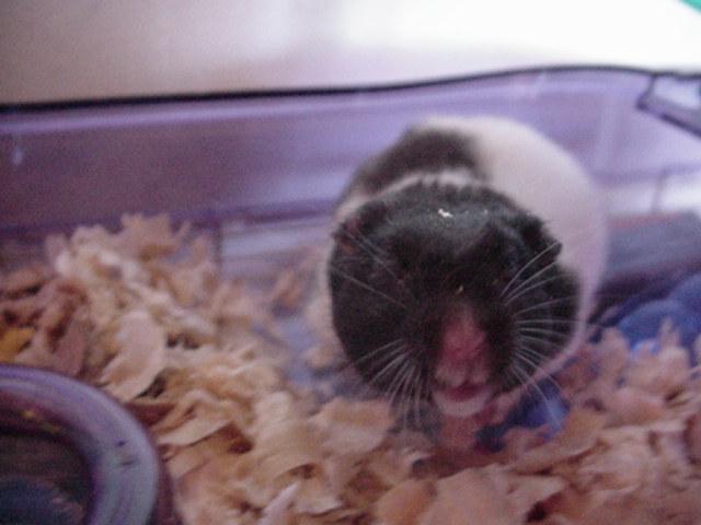 Skippy the Hamster